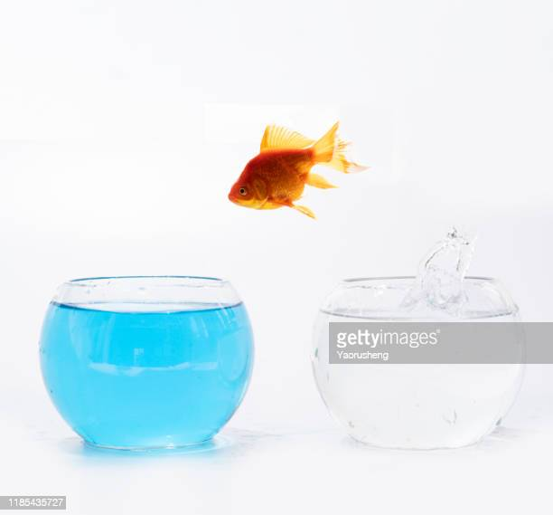 goldfish jumping out one fishbowl to another aquarium with clear water - goldfish leap stock pictures, royalty-free photos & images