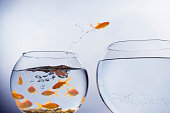 Goldfish jumping to a larger bowl