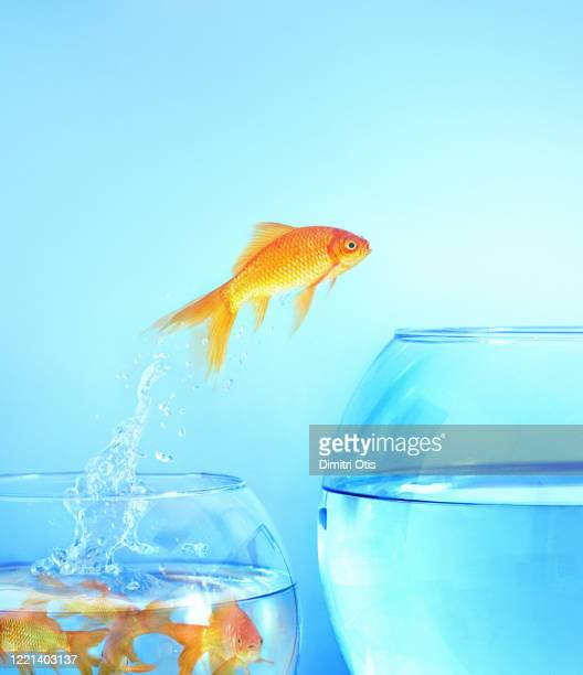 goldfish jumps from small crowded bowl to large empty one - goldfish leap stock pictures, royalty-free photos & images