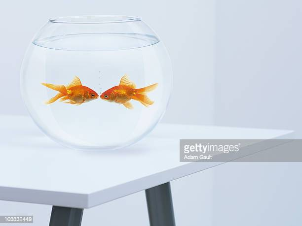 goldfish kissing in fishbowl - fish love stock pictures, royalty-free photos & images