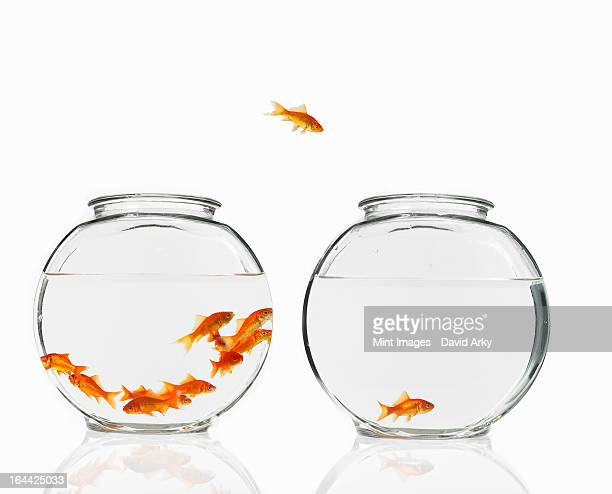 A goldfish leaping from one bowl to another.