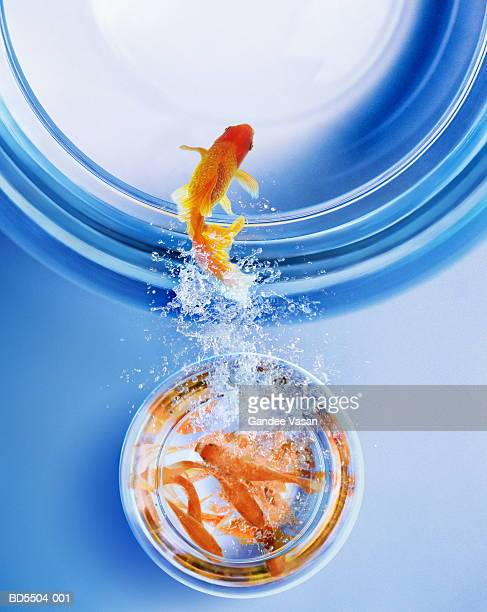 Goldfish leaping from overcrowded bowl into bigger bowl (Composite)