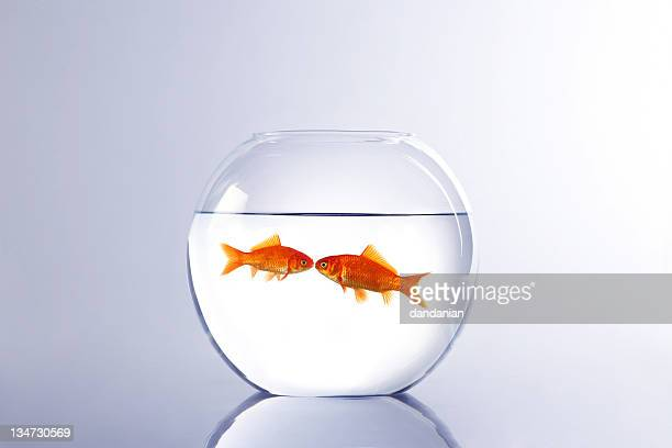 goldfish lovers - fish love stock pictures, royalty-free photos & images