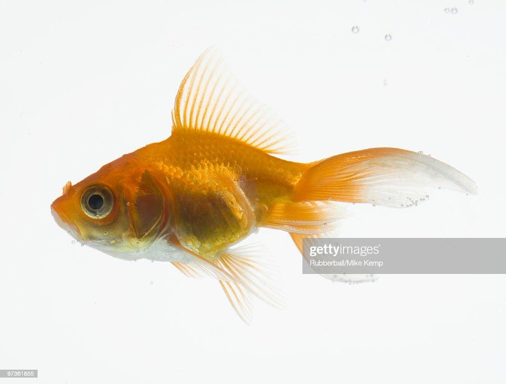 Goldfish on white background : Stock Photo