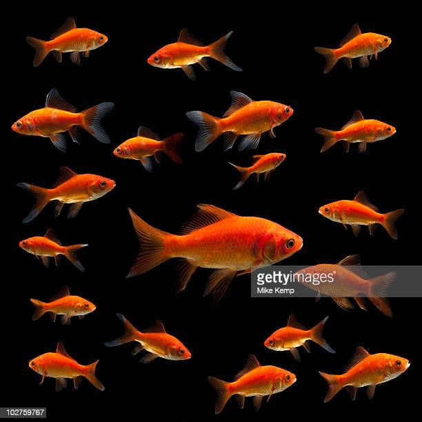 goldfish - big mike stock pictures, royalty-free photos & images