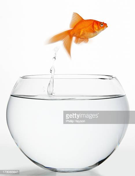 goldfish - one animal stock pictures, royalty-free photos & images
