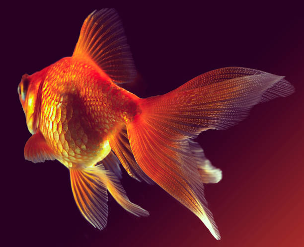Goldfish Wall Art