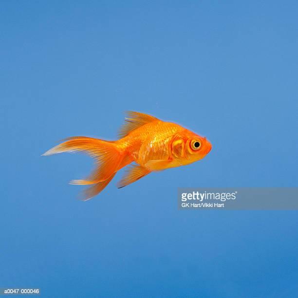 goldfish - goldfish stock pictures, royalty-free photos & images