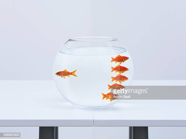 goldfish separating from crowd in fishbowl - contrasti foto e immagini stock