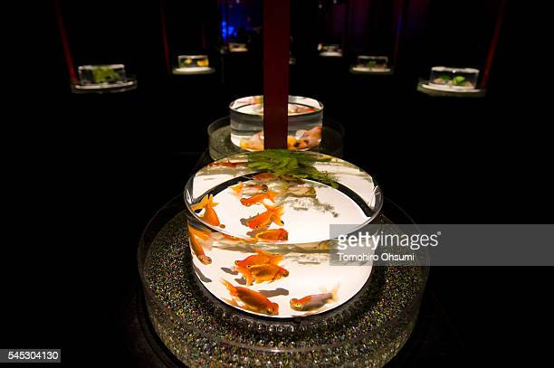 Goldfish swim in a tank at the 'Art Aquarium 2016' exhibition at the Nihonbashi Mitsui Hall on July 7 2016 in Tokyo Japan At the exhibition housing...