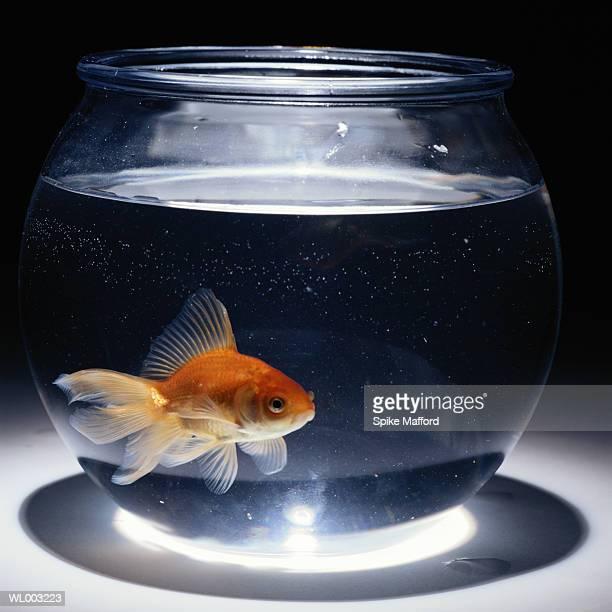 Goldfish (Carassius auratus) swimming in bowl