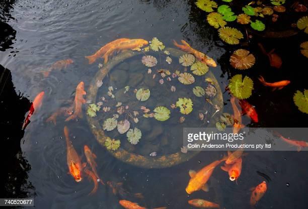 goldfish swimming in pond - koi carp - fotografias e filmes do acervo