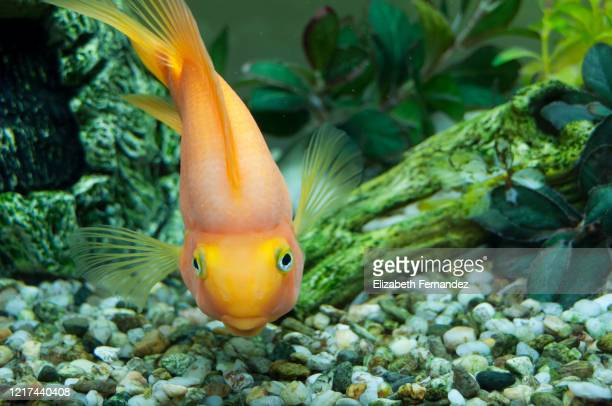 goldfish swimming in tank - goldfish leap stock pictures, royalty-free photos & images