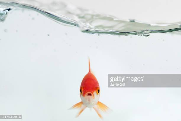 goldfish under waves - one animal stock pictures, royalty-free photos & images