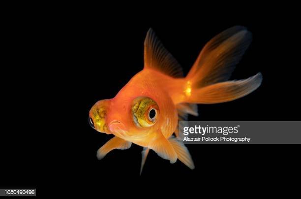 goldfish with black background - goldfish stock pictures, royalty-free photos & images
