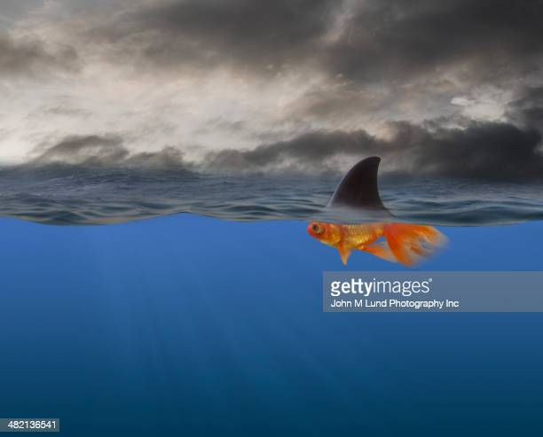 goldfish with shark's fin swimming underwater - john lund stock pictures, royalty-free photos & images