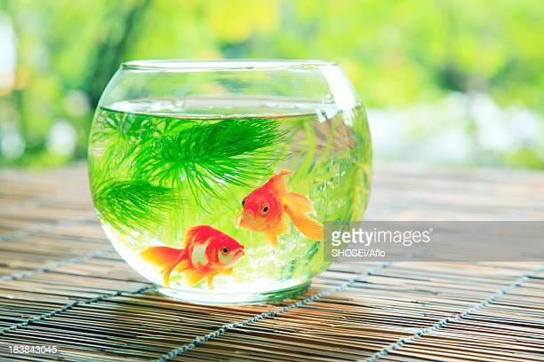 Goldfishes in a bowl