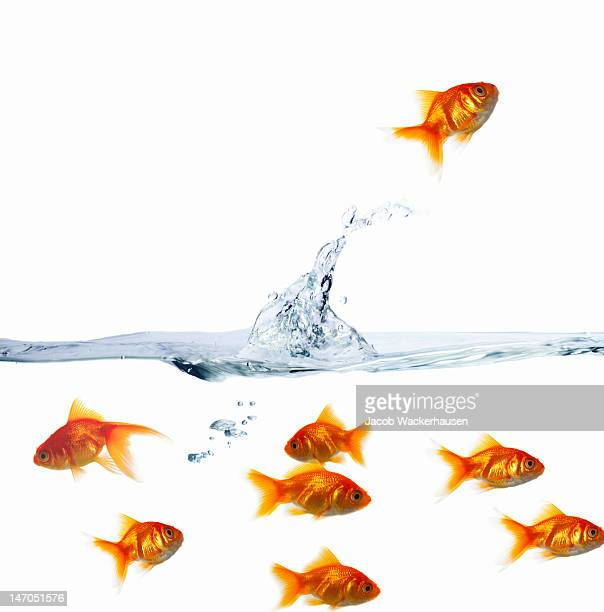 Goldfishes in water against white background