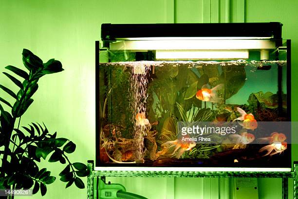 Goldfishies in tank