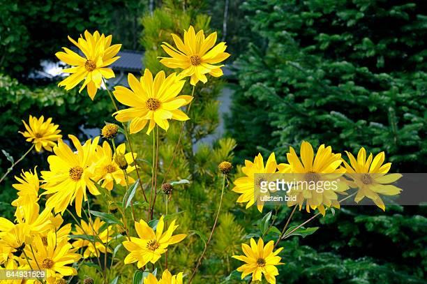 Goldgelbe Bluetenstaende des Topinambur Helianthus tuberosus im Bauerngarten, eine mehrjaehrige Zierstaude, Nahrungspflanze und Energiepflanze aus...
