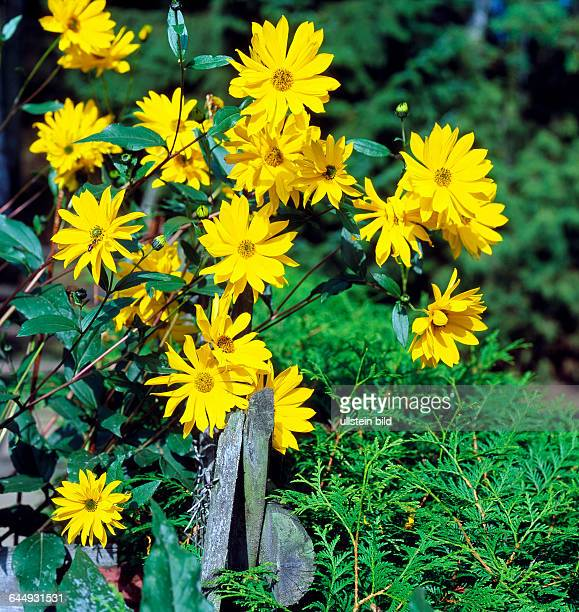 Goldgelbe Bluetenstaende des Topinambur Helianthus tuberosus im Bauerngarten eine mehrjaehrige Zierstaude Nahrungspflanze und Energiepflanze aus...