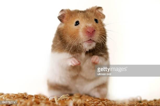 Goldhamster golden hamster