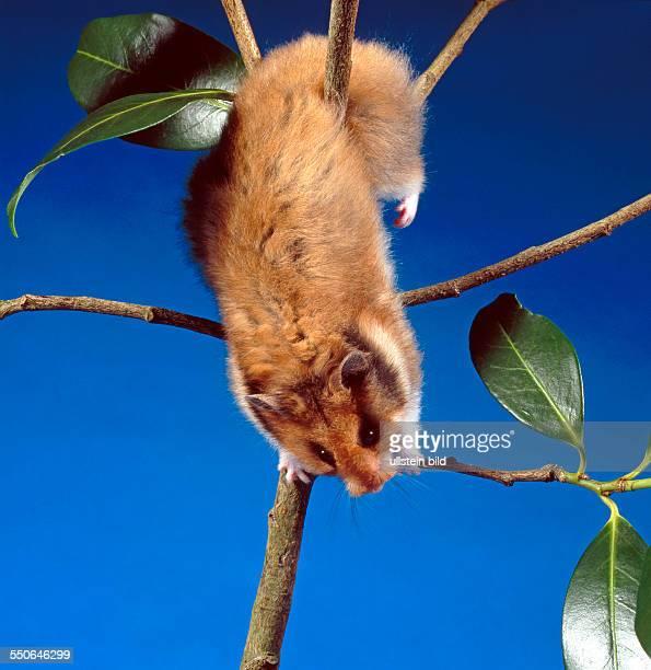 Goldhamster klettert auf einer Zimmerpflanze