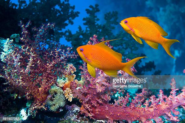 Goldies with soft corals