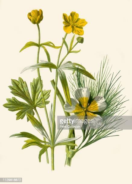 'Goldilocks Water Ranunculus' 1877 Golidlocks or Loosestrife and Water Ranunculu an aquatic flowering plant From Familiar Wild Flowers figured and...