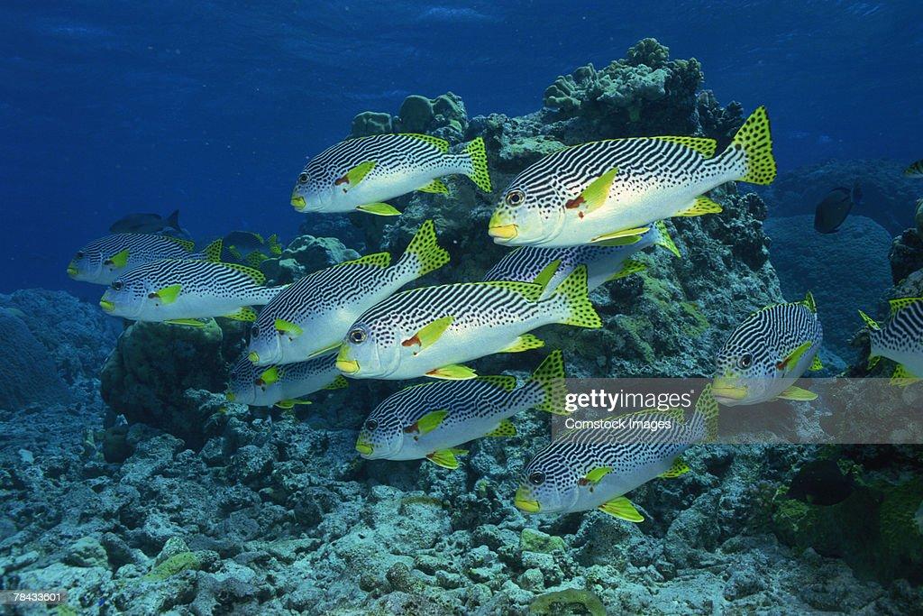 Goldman's Sweetlips fish : Foto de stock