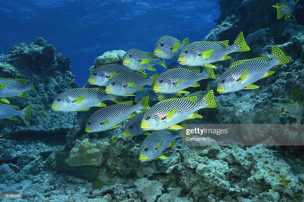 Goldman's sweetlips in the Great Barrier Reef , Australia : Stockfoto