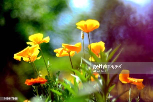 Goldmohn in der Blüte