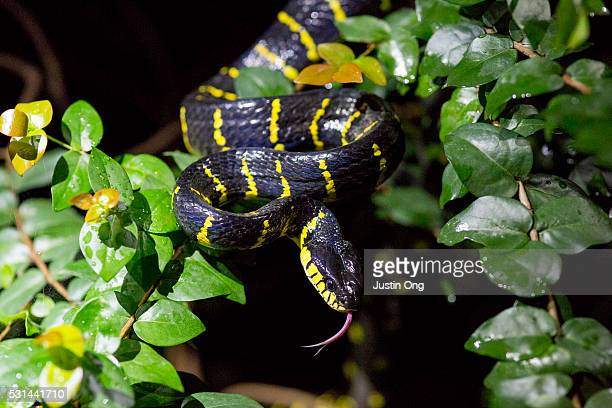 gold-ringed cat snake, mangrove snake - cat snake stock photos and pictures