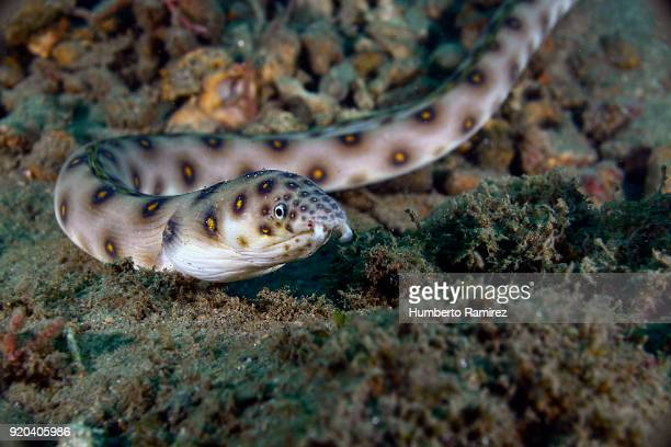 goldspotted eel. - saltwater eel stock photos and pictures