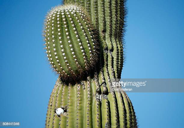 Golf ball is seen in a Saguaro cactus near the first hole during the first round of the Waste Management Phoenix Open at TPC Scottsdale on February...
