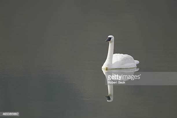 Humana Challange: Closeup of plastic swan in water on Friday at La Quinta CC. La Quinta, CA 1/23/2015 CREDIT: Robert Beck