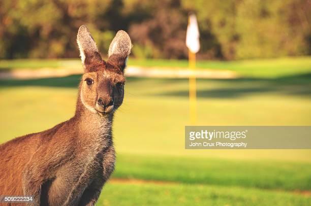 Golf Roo