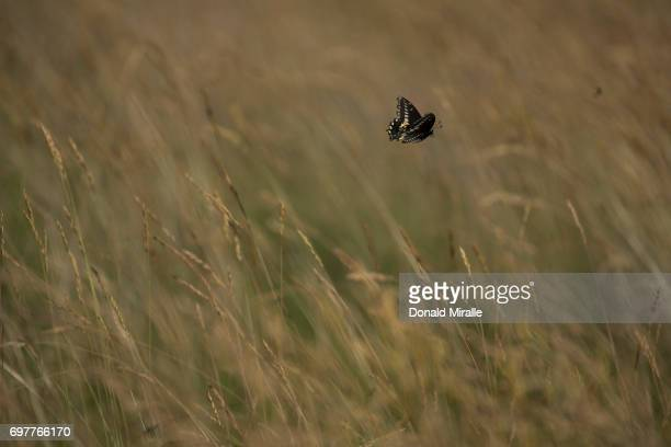 US Open A butterfly lands in the fescue during Friday play at Erin Hills GC Hartford WI CREDIT Donald Miralle