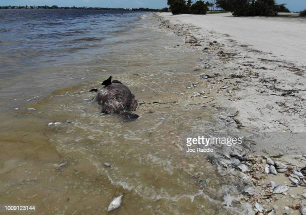 Goliath grouper and other fish are seen washed ashore the Sanibel causeway after dying in a red tide on August 1 2018 in Sanibel Florida Red tide...