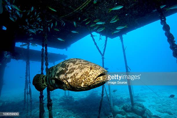 Goliath grouper and structure.