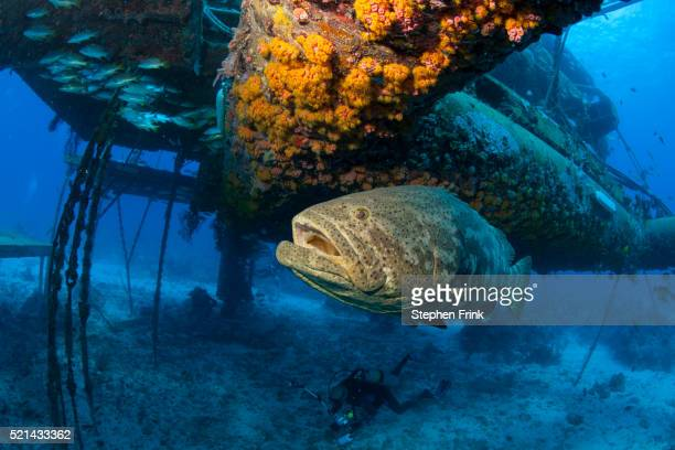 Goliath grouper at the Aquarius Habitat