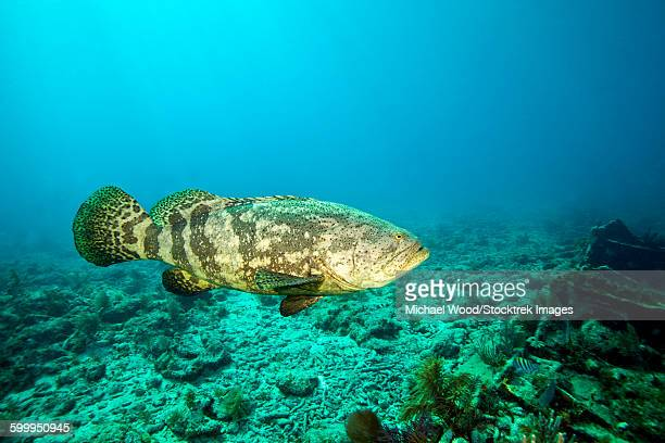 A Goliath Grouper effortlessly floats by a shipwreck off the coast Key Largo, Florida.