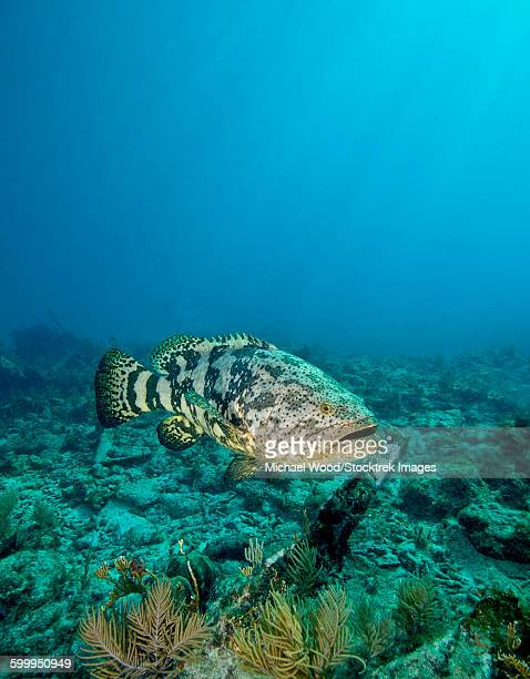 a goliath grouper effortlessly floats by a shipwreck off the coast key largo, florida. - grouper stock pictures, royalty-free photos & images