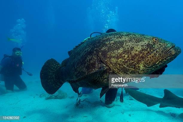 goliath grouper, epinephelus itajara, molasses reef, key largo, florida, usa, atlantic ocean - big bottom stock pictures, royalty-free photos & images