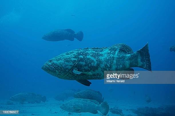 Goliath grouper hover around an artificial reef off Jupiter Florida during their spawning in September of 2012