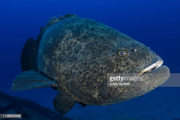 goliath grouper inspects a diver off west palm beach, florida - grouper stock pictures, royalty-free photos & images
