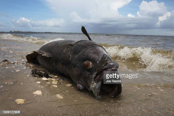 Goliath grouper is seen washed ashore the Sanibel causeway after dying in a red tide on August 1 2018 in Sanibel Florida Red tide season usually...
