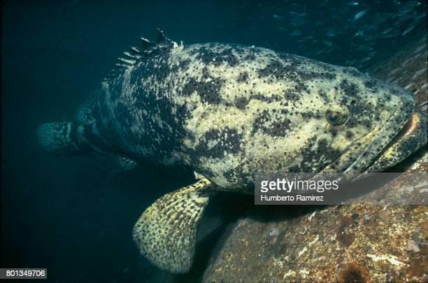 Goliath Grouper.