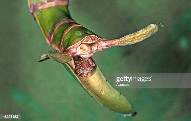 Goliath stick insect Eurycnema goliath close up female operculum or scoop with egg ready to be flicked out onto the forest floor where it will be...