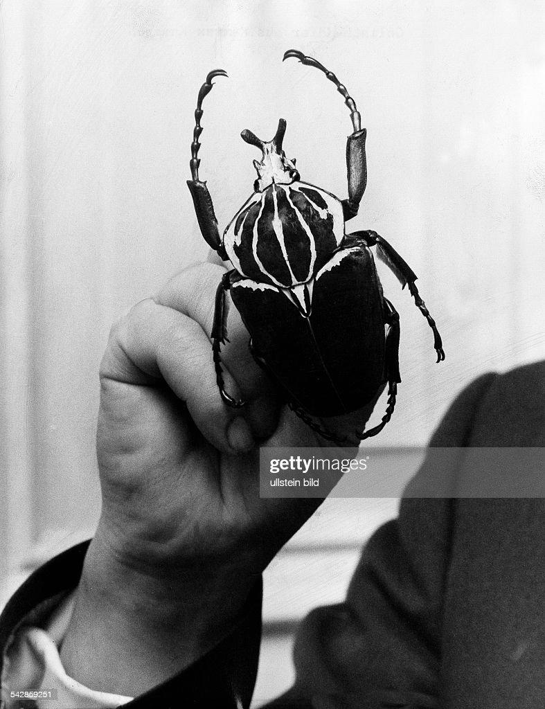 Goliathkäfer Aus Kamerun 1971 News Photo Getty Images